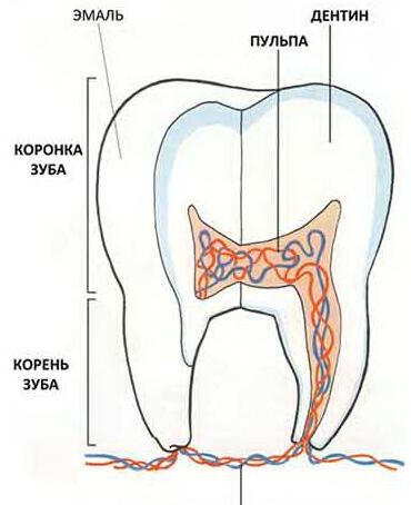 Строение молочного зуба фото