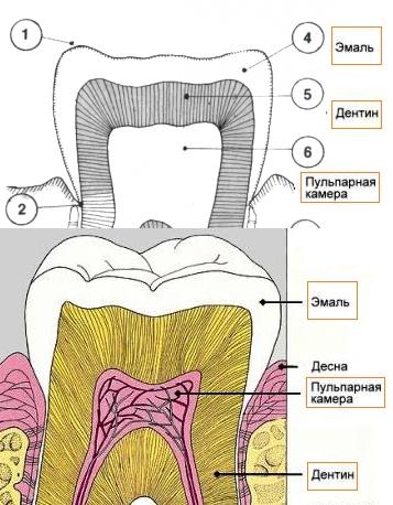 Строение зуба, фото